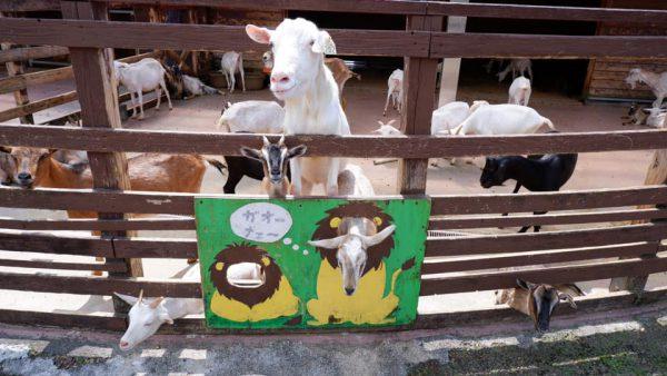 阿蘇ミルク牧場 ヤギ