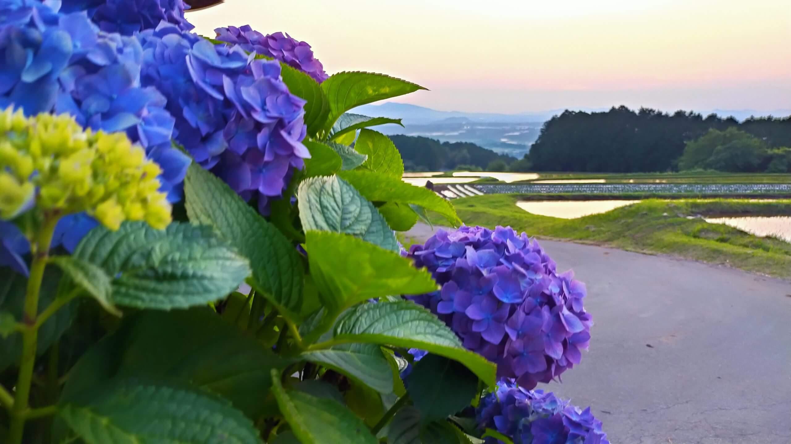 紫陽花と棚田