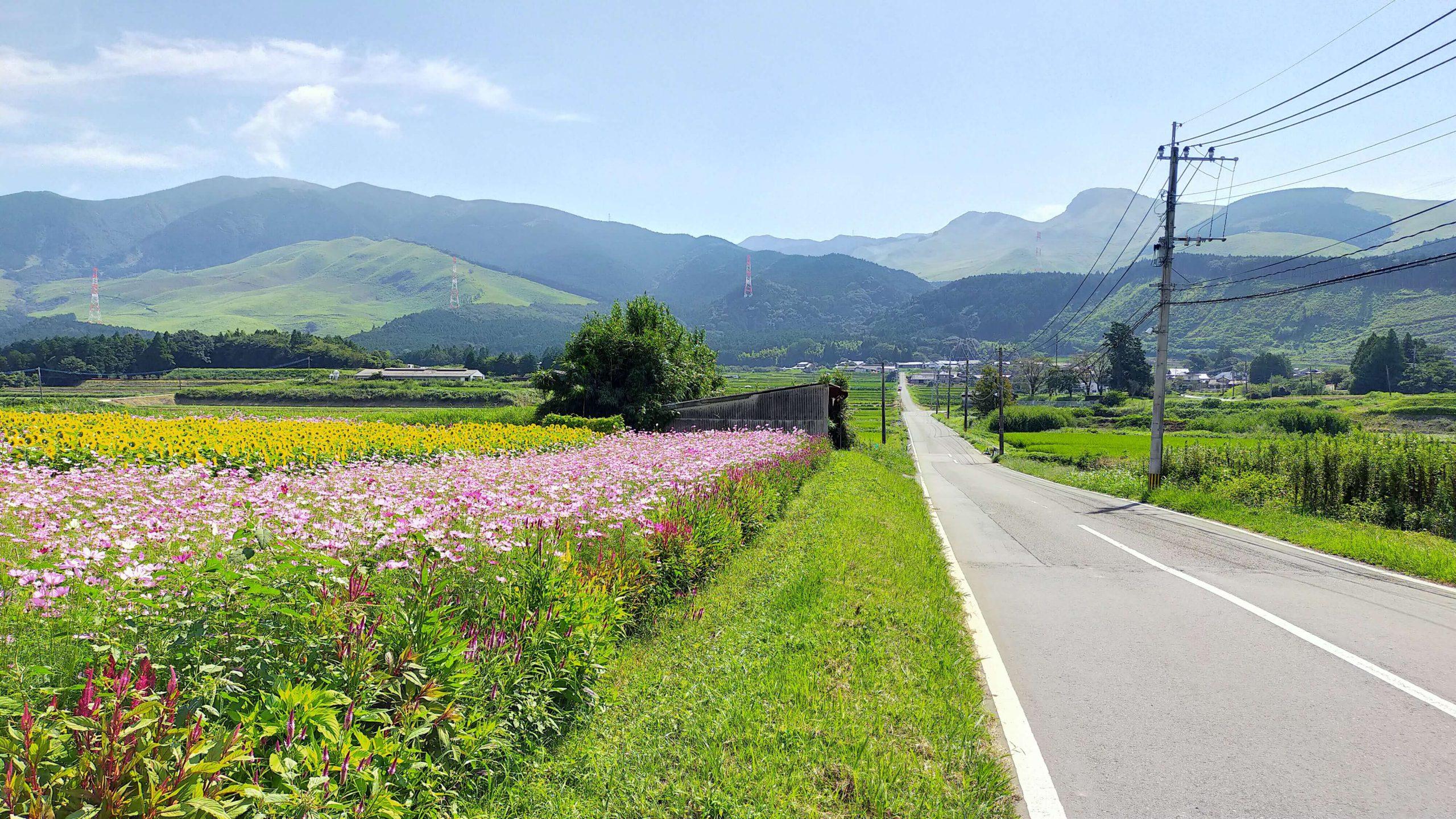 向日葵と秋桜