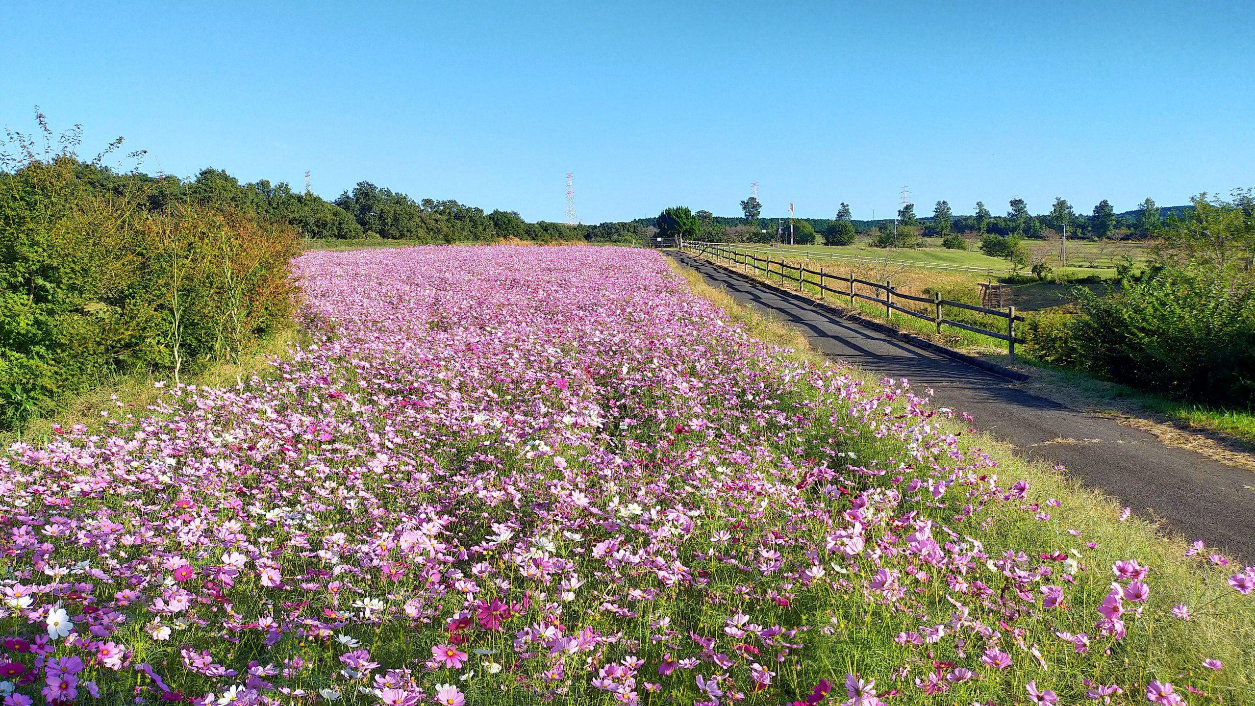 牧場の畑 コスモス